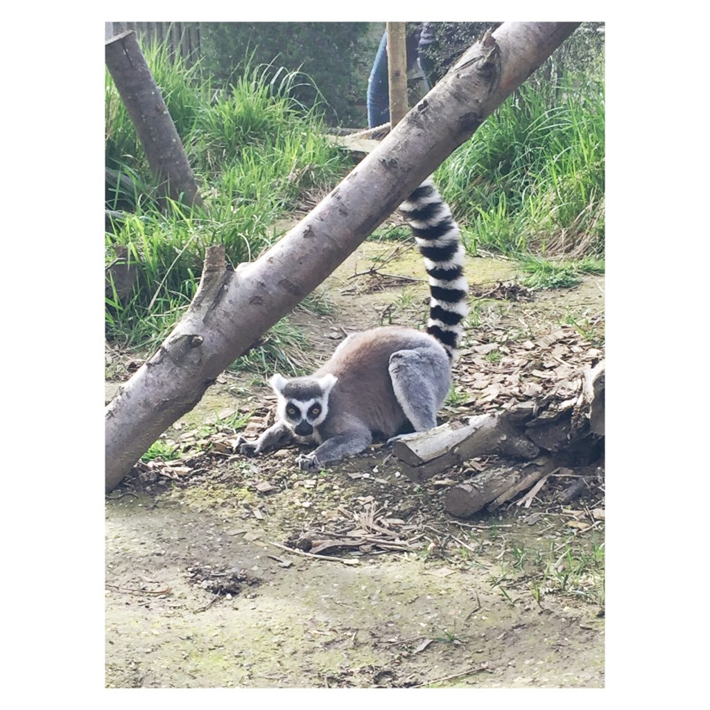 ZSL London Zoo Lemur