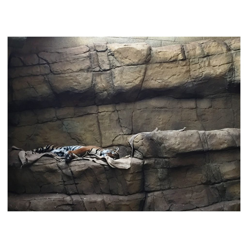ZSL London Zoo Tiger Sleeping